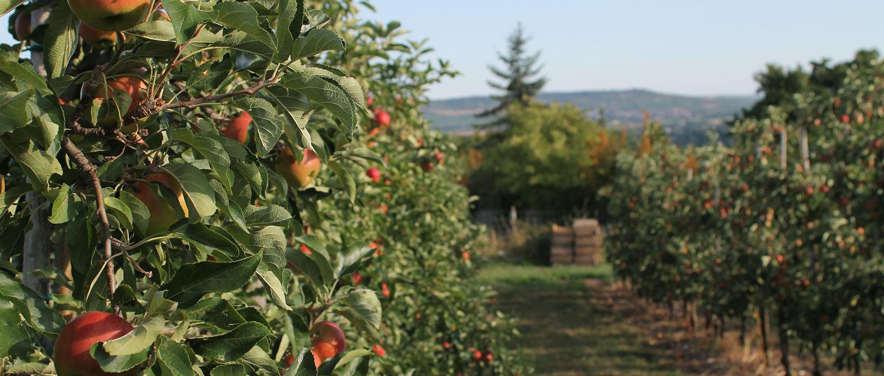 Apfelbäume Obstgut Auf der Heide